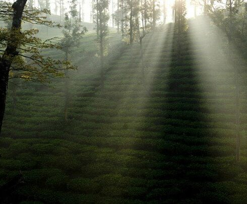 wayanad tea plantation The Indian Journeys 5